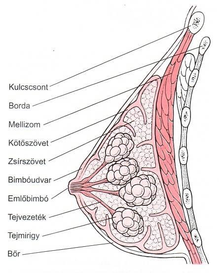 noi-mell-anatomia