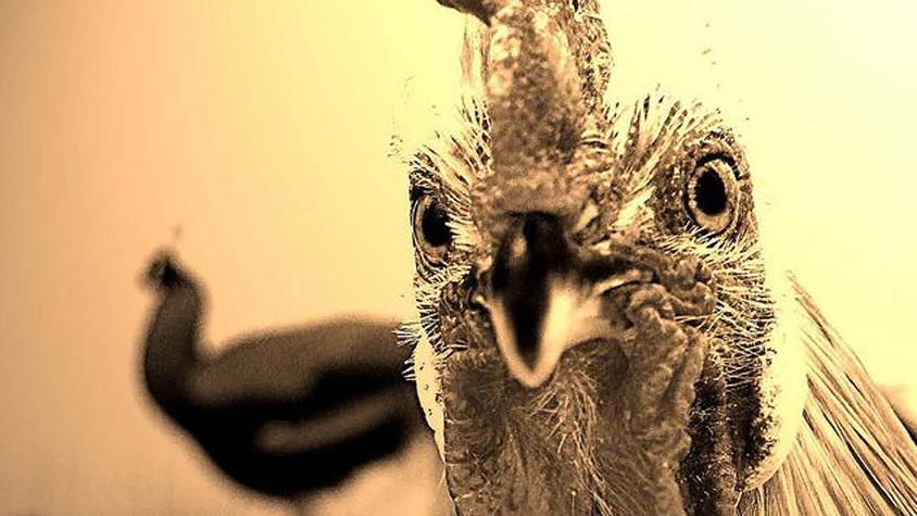 csirkemell-madarinfluenza