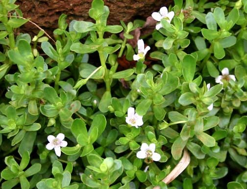 bacopa_peak
