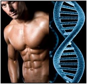 genetika-szerepe-a-testepitesben