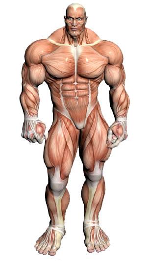 Peak izomzat anatomia